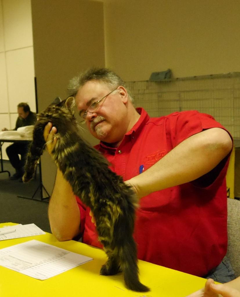 Arkenstone Diosa , saját tenyésztésű kislány cicánk nagyon ígéretesnek bizonyult a kiállításon: Ex2, CACP