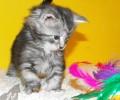 Eladó Maine Coon kismacskáink születtek (Szülők: Aragorn – Diosa)