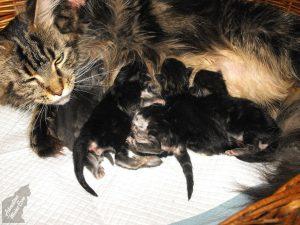 elado maine coon szulettek kis cica 2