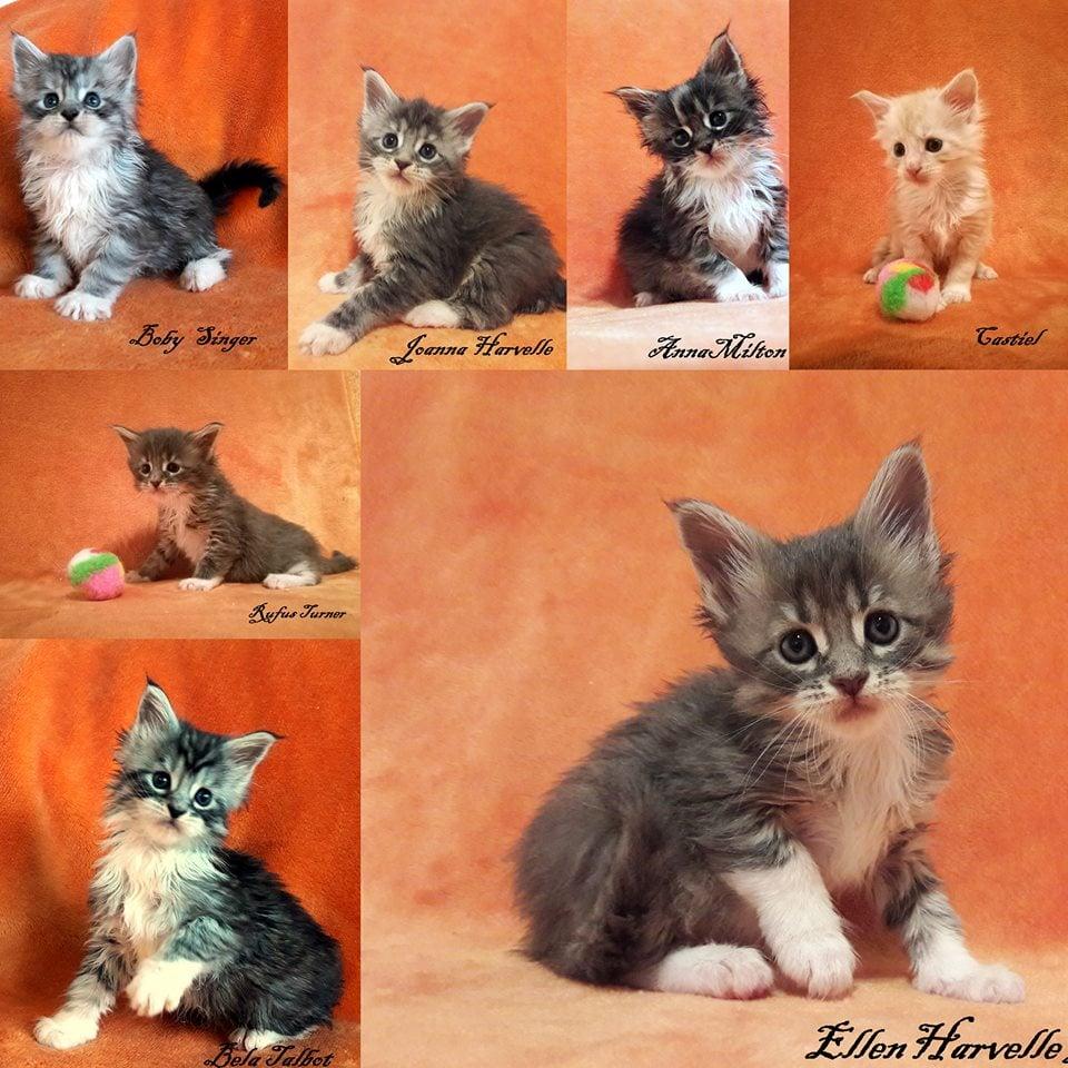 Eladó Maine Coon kis cicák