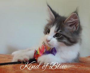 Kind of Blue - Arkenstone Maine Coon Tenyészet