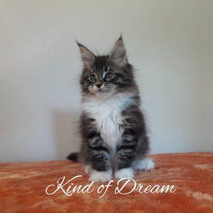 Kind of Dream - Arkenstone Maine Coon Tenyészet