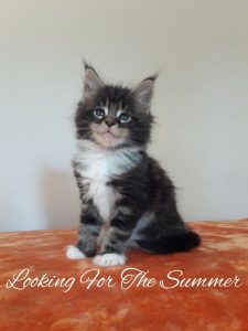 Looking for the Summer - Arkenstone Maine Coon Tenyészet