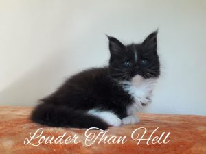 Louder than Hell - Arkenstone Maine Coon Tenyészet